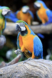 Colorful blue parrot macaw Royalty Free Stock Photography