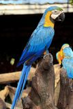 Colorful blue parrot macaw Stock Image