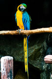 Colorful blue parrot macaw Stock Images