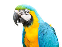 Colorful blue parrot macaw Stock Photography