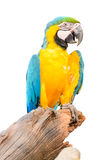 Colorful blue parrot macaw isolated Royalty Free Stock Photos