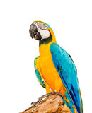 Colorful blue parrot macaw on white background Royalty Free Stock Image