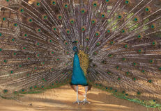 A colorful blue peacock spreading his tail Stock Image