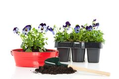 Colorful blue purple pansy Stock Images