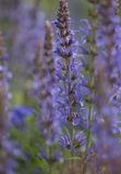 Colorful blue racemes of salvia flowers Stock Images