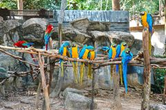 Colorful Macaws Standing On The Perch. Colorful Blue Throated Macaws Standing On The Perch Stock Image