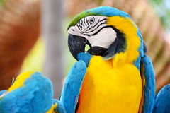 Colorful blue and yellow macaw bird. Royalty Free Stock Photos