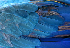 Colorful of Blue and yellow  macaw bird`s feathers Royalty Free Stock Photography