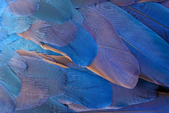Colorful of Blue and yellow  macaw bird`s feathers Stock Photography