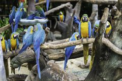 Colorful blue and yellow parrots. On tree background royalty free stock photography