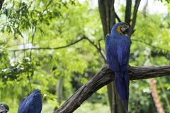 Colorful blue and yellow parrots. On tree background royalty free stock images