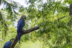 Colorful blue and yellow parrots. On tree background stock image