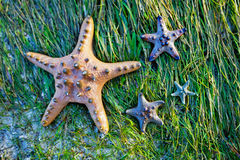 Colorful blue and yellow starfish Royalty Free Stock Photos