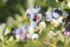 Colorful Blueberries Stock Images