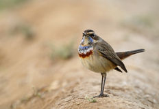 Colorful Bluethroat Royalty Free Stock Images