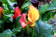 Colorful Booming Calla Lily Flowers royalty free stock image