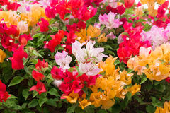 Colorful Bougainvillea flower with leaf Royalty Free Stock Photo