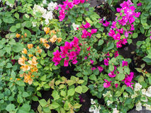 Colorful Bougainvillea Flowers Blooming Royalty Free Stock Photography