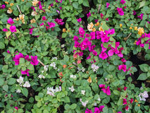 Colorful Bougainvillea Flowers Blooming Royalty Free Stock Images