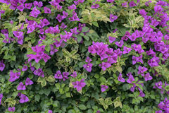 Colorful bougainvillea flowers Royalty Free Stock Photos