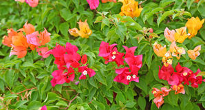 Colorful Bougainvillea flowers Stock Photography