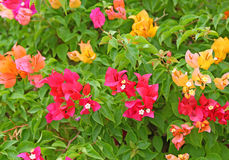 Colorful Bougainvillea flowers Royalty Free Stock Photography