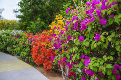 Colorful bougainvillea flowers Stock Images