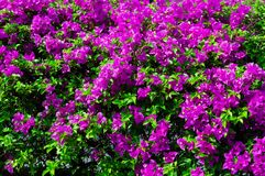 Colorful bougainvillea flowers in pink color blooming. Royalty Free Stock Image