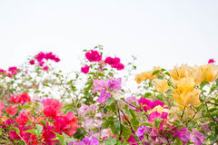 Colorful bougainvillea royalty free stock photo