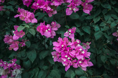 Colorful Bougainvilleas background with old-green leaf in film style Stock Photography
