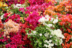 Colorful bouganvilla flowers in an exposition Stock Images
