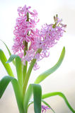 Colorful bouquet from beautiful pink hyacinth Royalty Free Stock Photography