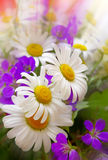 Colorful bouquet of field flowers . Royalty Free Stock Photography