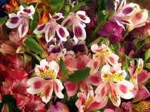 Colorful bouquet of flowers Alstroemeria Stock Images
