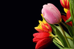 Colorful bouquet of fresh spring tulip flowers with water drops Royalty Free Stock Image