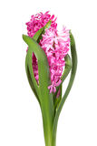 Colorful bouquet from hyacinth arrangement centerpiece isolated Royalty Free Stock Photo