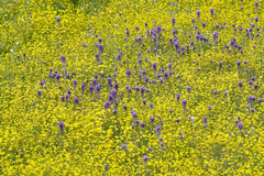 Colorful bouquet of spring flowers and desert gold in farm field off Route 58, East of Santa Margarita, CA Stock Images