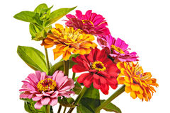 Colorful bouquet of summer zinnias isolated on a white backgroun Royalty Free Stock Photos
