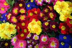 Colorful bouquets primrose Stock Image