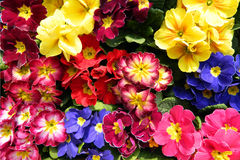 Colorful bouquets primrose. Fancy a greater amount of early evening primrose flowers and the announcement of the arrival of spring royalty free stock images