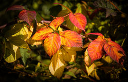 Colorful Brambleberry leaves Royalty Free Stock Image