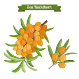 Colorful branch of sea buckthorn berries Stock Photos