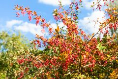 Colorful branches of barberry with ripe fruits Stock Photography