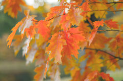 Colorful branches of champion oak Stock Photos