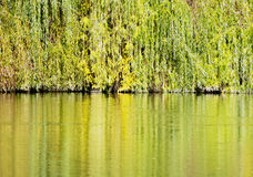 Colorful branches of the weeping willow are mirrored in the pond Stock Images