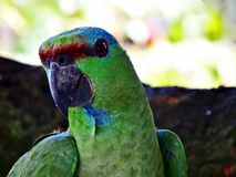 Colorful brazlian parrot posing for you royalty free stock photos