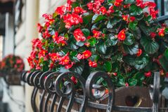 Colorful flower pot with red begonias. Colorful autumn in the city. Colorful bright autumn flowers. Sunny warm autumn morning in the city park Stock Photography