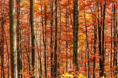 Colorful and bright autumn forest Royalty Free Stock Photos