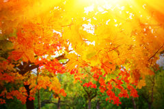 Colorful, bright autumn leaves. Abstract photo of maple leaves in the sun Stock Images