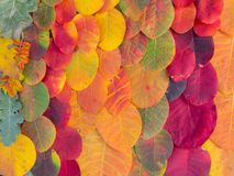 Colorful bright autumn leaves background. Colored colorful autumn leaves background Royalty Free Stock Image